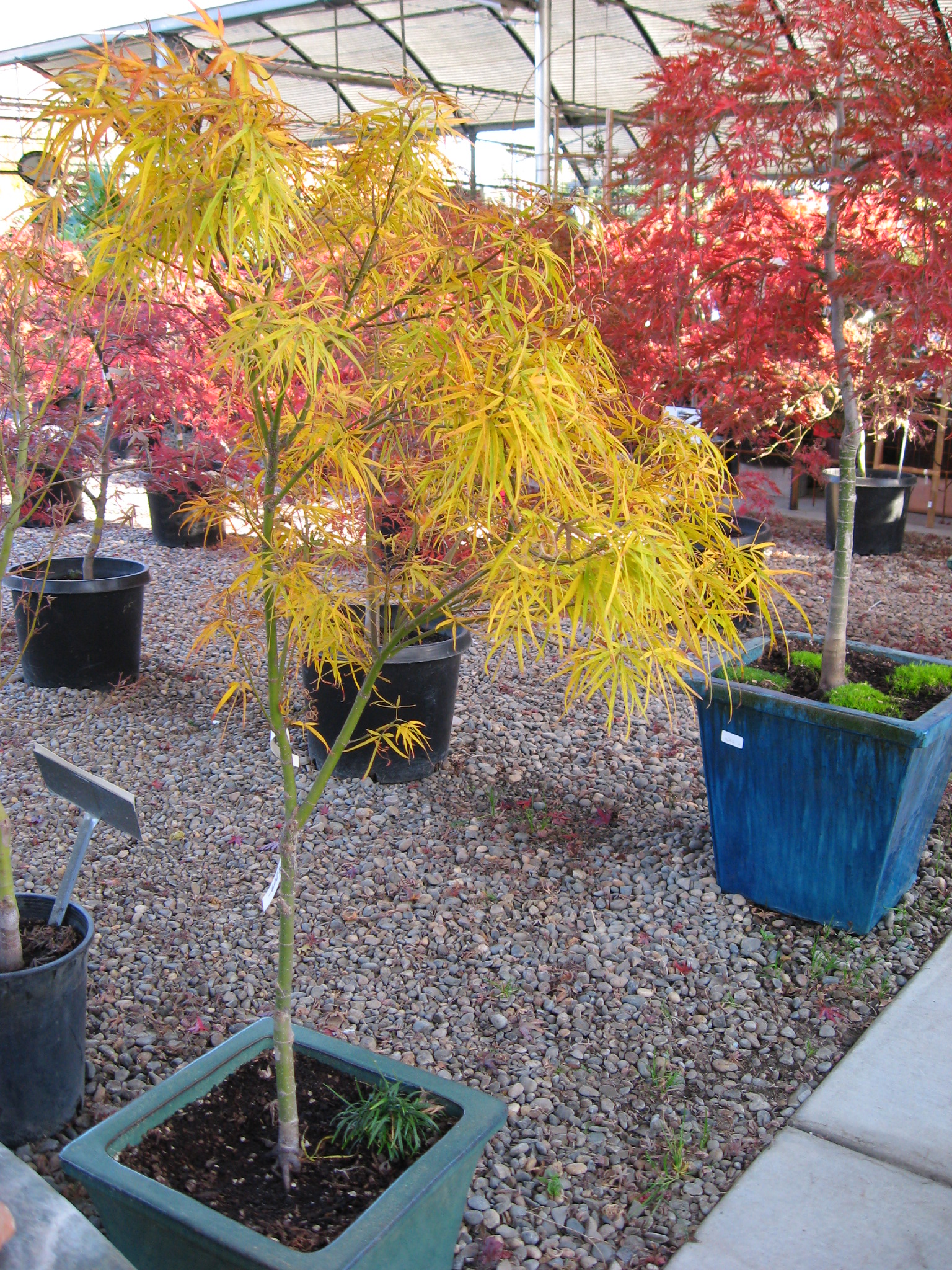 Fair Oaks Boulevard Nursery Japanese Maples